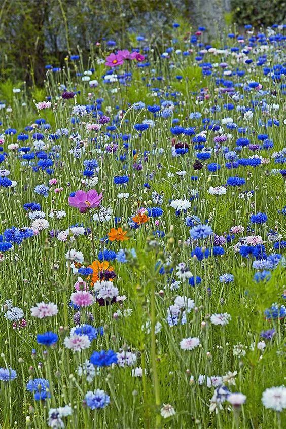 How To Grow Bachelor S Button Cornflower Wild Flower Meadow