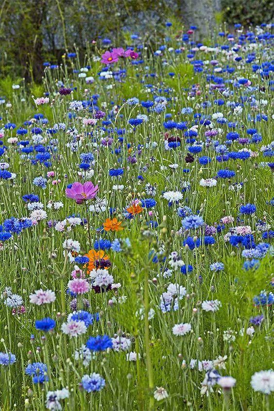 Blue Boy Bachelor S Buttons Bachelor Button Flowers Bachelor Buttons Flower Seeds
