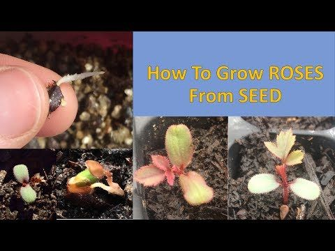 How To Grow Roses From Seed Easy Method Youtube Growing Roses Planting Roses Growing Seeds