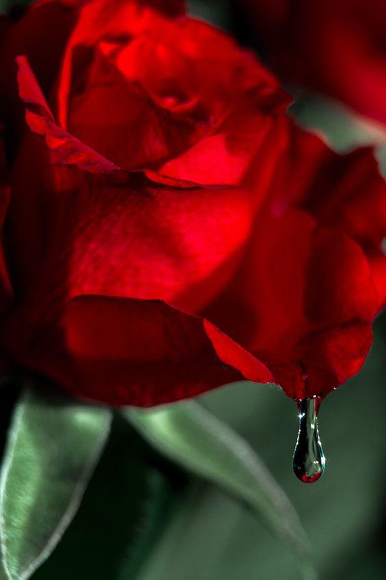 Birthday Rose - null