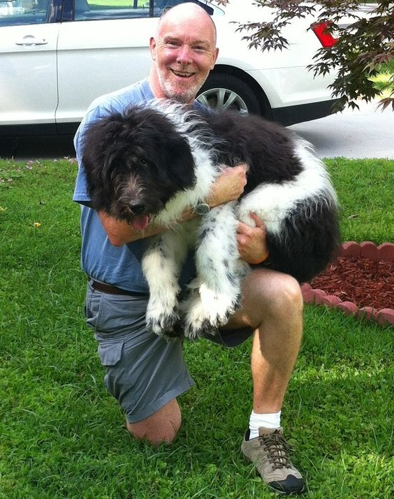 Newfkom, Newfoundland Komondor hybrid from Feathers And Fleece.  Now living happily in Virginia with the Woods family