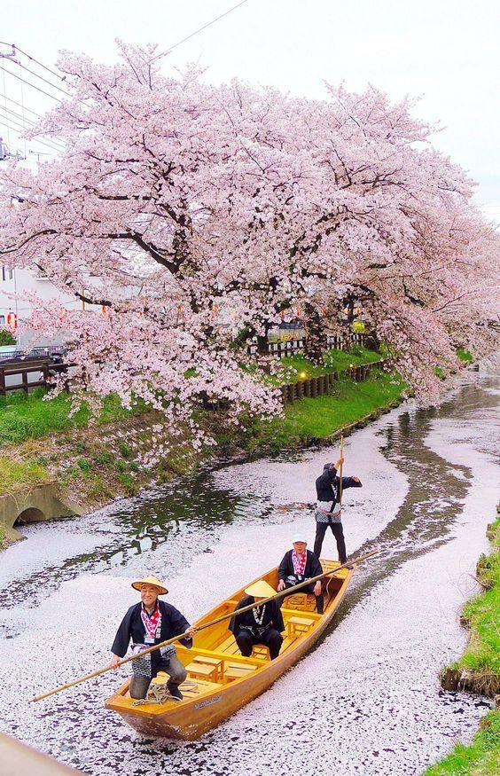 Look at those beautiful Sakura flowers along the Japan river. So romantic! #sakura #japan