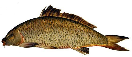 1599-1603  Ulisse Aldrovandi  Cyprinus carpio. #Animals #Conocimiento @deFharo