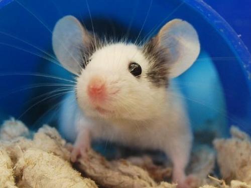 تفسير الجرذ في الحلم رؤية الجرذان في المنام Animals Sweet Animals Pets