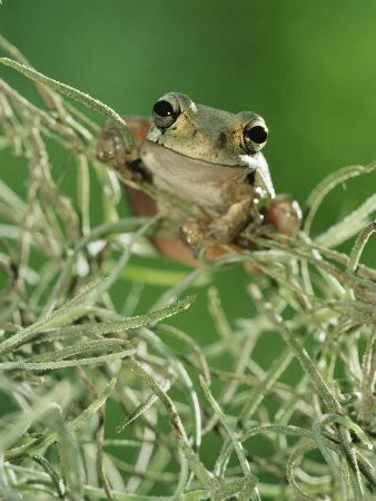 Mexican tree frog