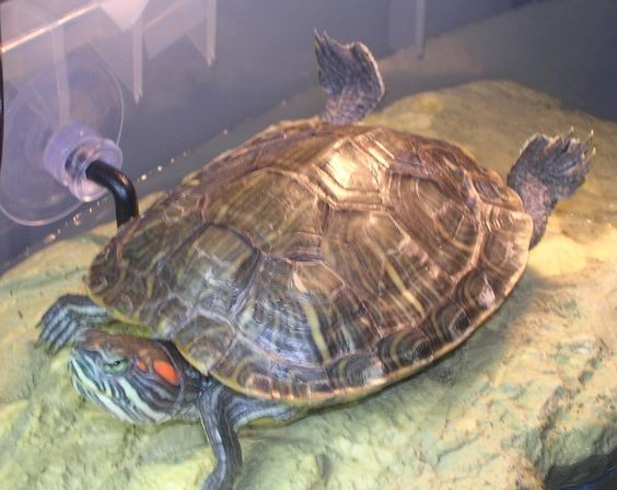 Happy Turtle Site -- care requirements for pet water turtles DIY ...