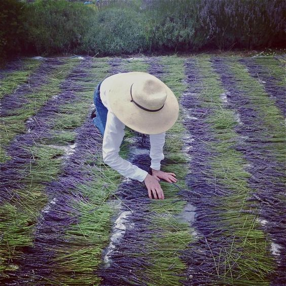 lavender harvest - Tìm với Google