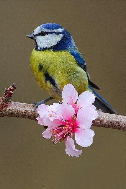 """""""Blue Tit"""" by Nigel Pye on flickr"""