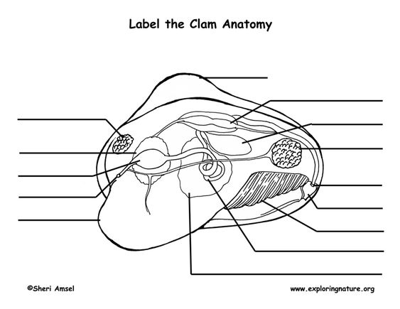 label the parts of the clam