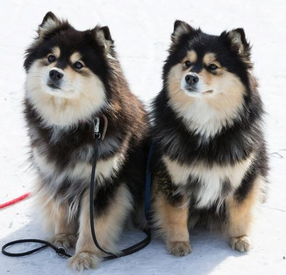 Dagolas Ystava and mother  Finnish Lapphunds
