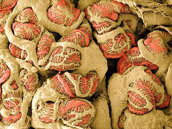 Podocitos del riñón vistos al microscopio SEM y coloreados