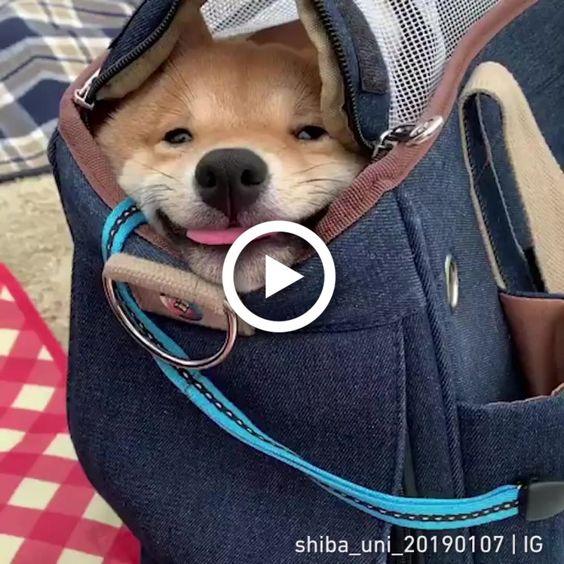 Shibag mochila especial para cães