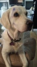 My English Golden Retriever - Bailey decided to play with a blue ink pen - Need I say more