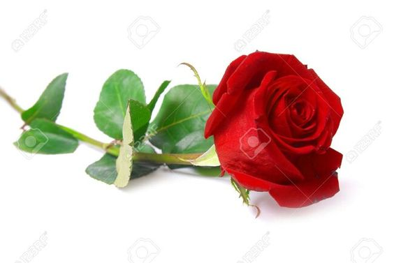 ♥A beautiful Rose For Beautiful Lady For My Love♥