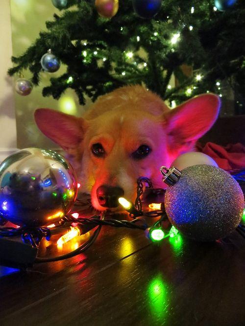 Christmas Corgi Decor Corgi Christmas Corgi Pet Holiday
