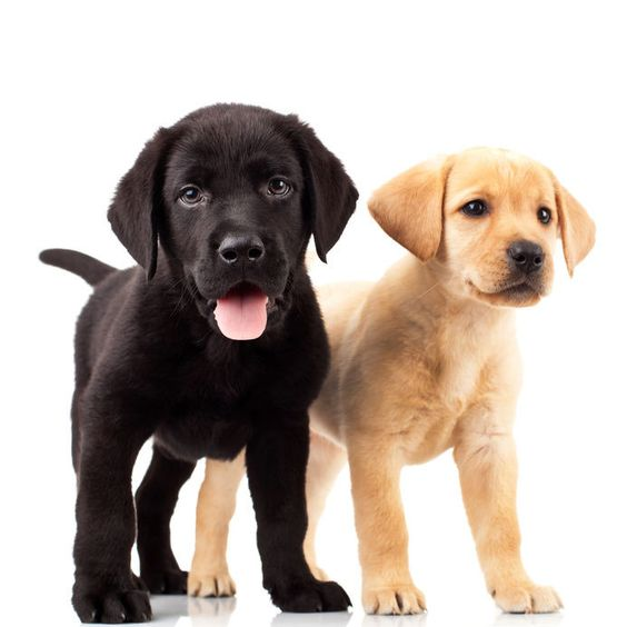 How To Select A Labrador Puppy
