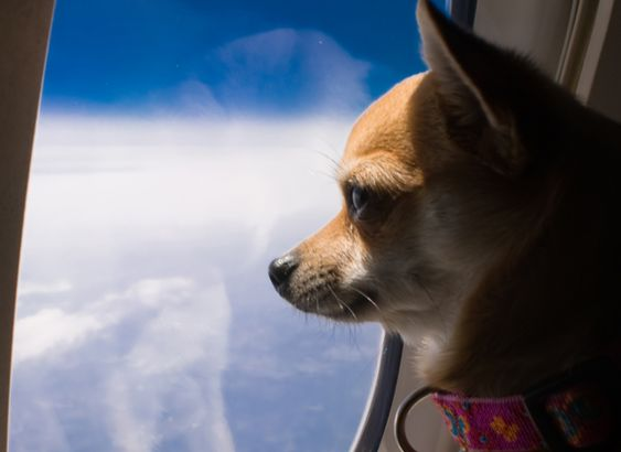 Can Dogs Travel In Air Cabin Of A Plane