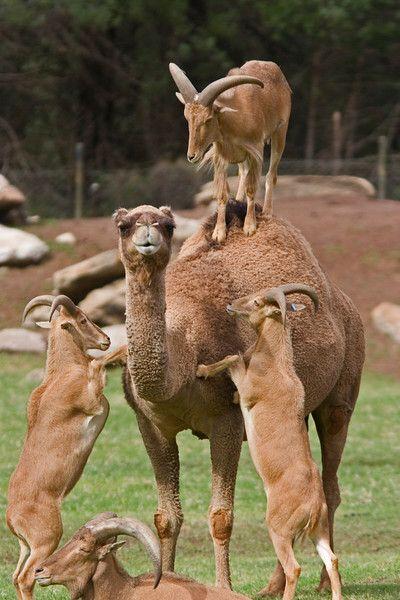 What WON'T they climb?? Mountain goats climb on a camel. www.thesmokinggoat.com