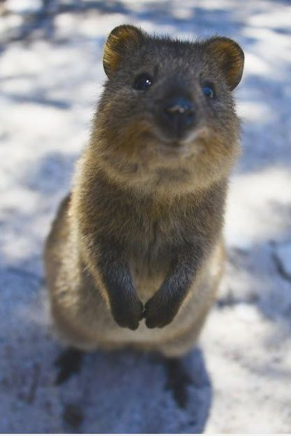 How cute can you get? The quokka pushes the limits.