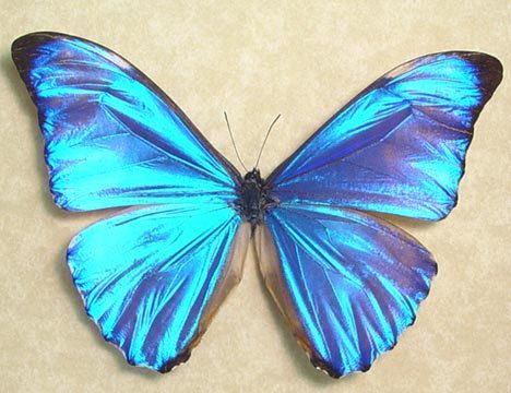 Rare Morpho Aurora Real Blue Framed by REALBUTTERFLYGIFTS on Etsy, $59.99: