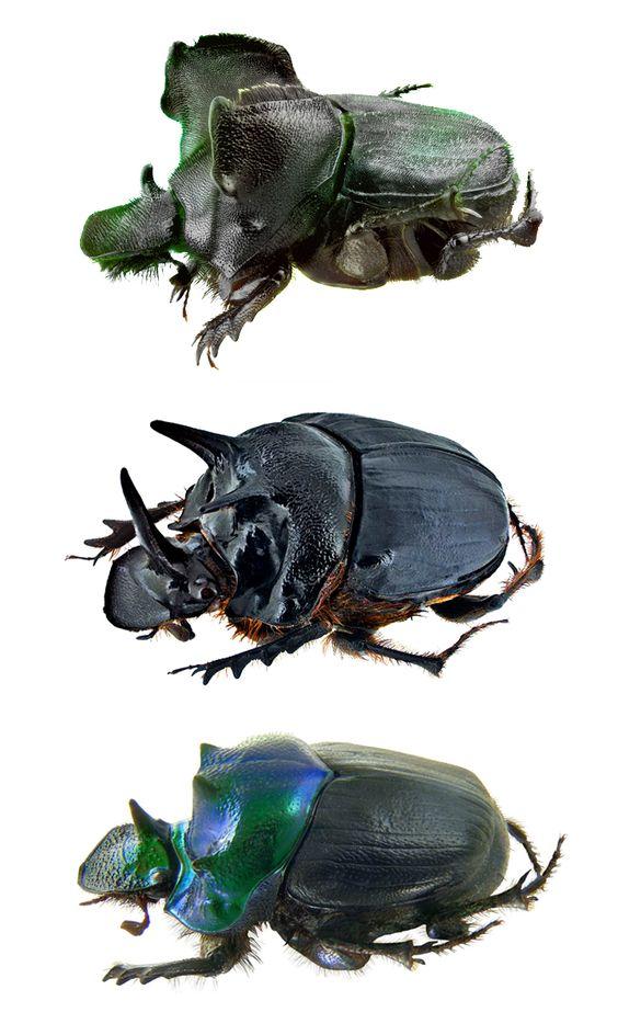 Onthophagus monstrosus; Onthophagus ferox; Onthophagus thomsoni;