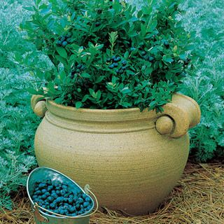Dwarf Blueberry - great for the patio or deck!
