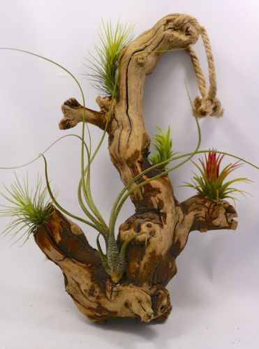 HANGING-AIRPLANT-DISPLAY-ON-GRAPE-WOOD