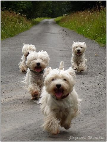 One day I want to be a westie breeder and just sit in a rocking chair watching a herd of westies play in the grass