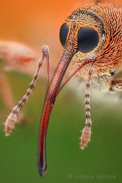 Graanklander (korenworm)