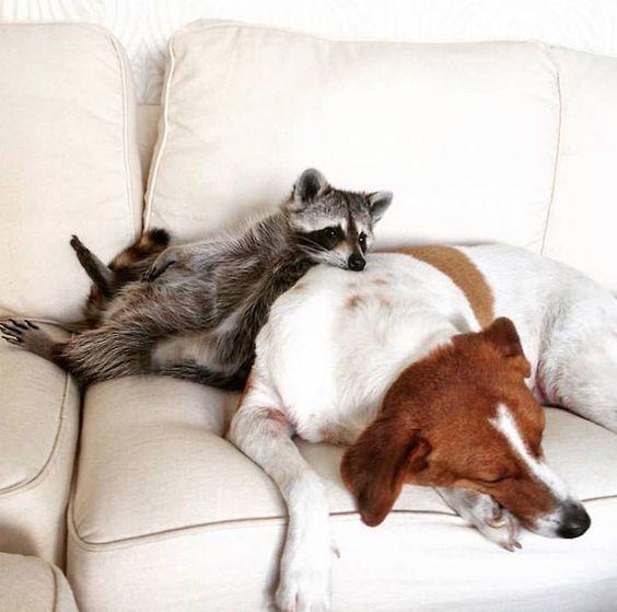 自分を犬だと思っているアライグマ、パンプキンの毎日がめちゃめちゃ可愛い!                                                                                                                                                                                 もっと見る