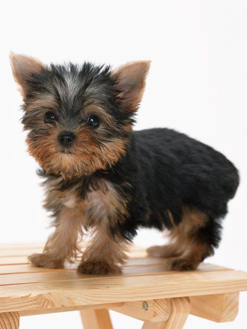 Yorkshire Terrier Welpen Online Kaufen Verkaufen Www Dogspuppiesfo Amp Kaufen Online Terrier Verk Yorkshire Terrier Terrier Yorkshire Terrier Hund
