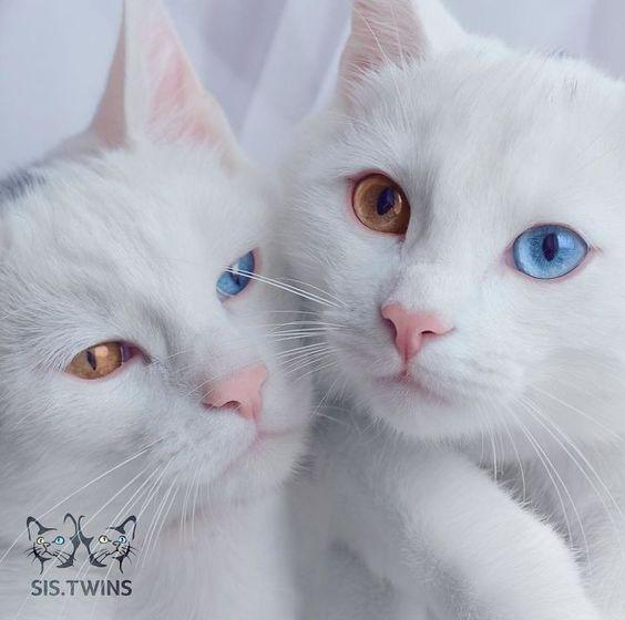 gatos-gemeos-mais-bonitos-do-mundo-8                                                                                                                                                                                 Mais