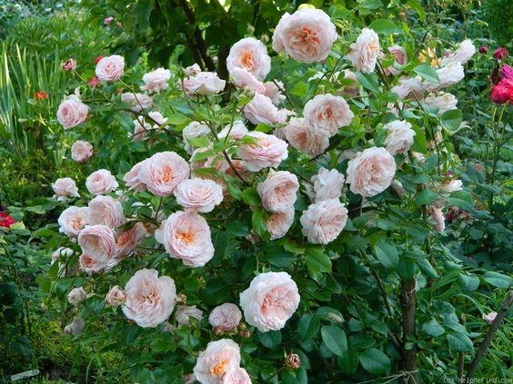 39 schloss eutin 39 rose photo shrub roses pinterest. Black Bedroom Furniture Sets. Home Design Ideas