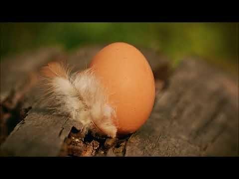 Ruyada Tavuk Yumurtasi Gormek Videolu Ruya Tabirleri 2020 Tavuk