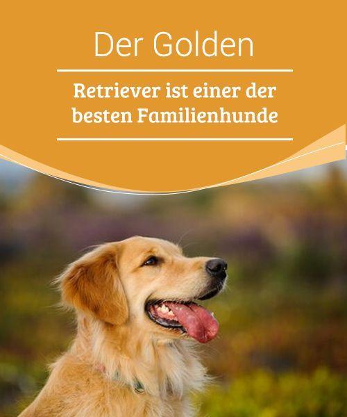 Der Golden Retriever Ist Einer Der Besten Familienhunde Familienhund Hunde Und Golden Retriever