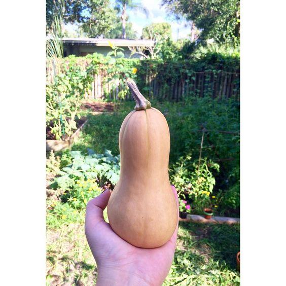 Butternut Squash is ready!  #finally #wintersquash #butternutsquash #fall #fromseed #amandasavantgarden #organic #botanicalinterests @botanical_interests