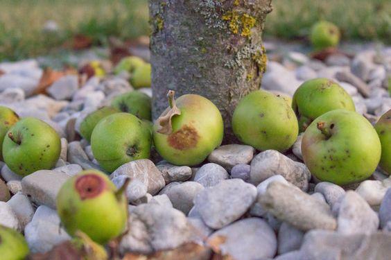Damit sich Krankheiten und Schädlinge nicht weiter ausbreiten können, sollte Fallobst regelmäßig aufgesammelt werden. Faulendes Obst nicht auf den Kompost, sondern besser in die Biotonne geben!