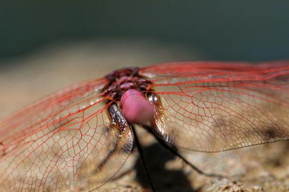 Diese schöne rote Libelle ist uns auf einer Wanderung auf der Insel La Reunion bei einem tollen Wasserfall begegnet.