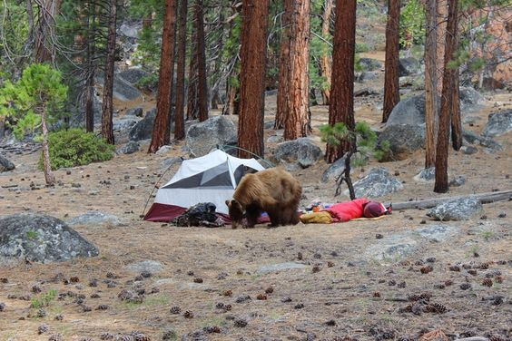 Bear in Yosemite backcountry. Hiking/backpacking 2015 ----- Palms to Pines
