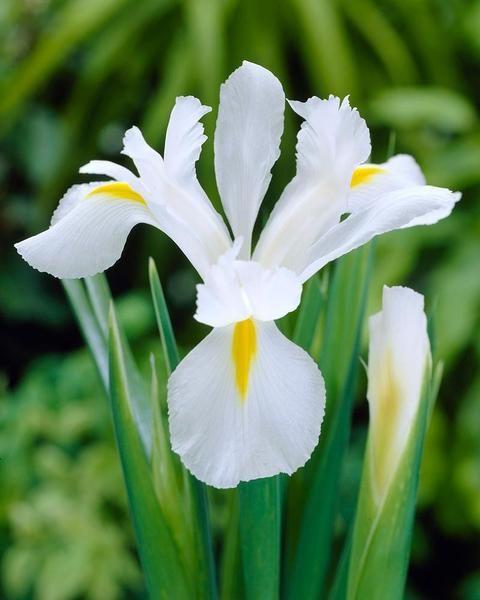 Dutch Iris Alaska Dutch Iris Iris Flowers White Iris