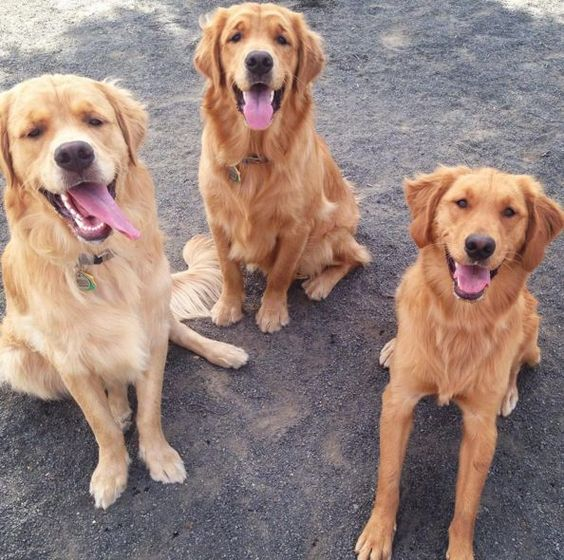 It's a golden squad at East Brunswick Dog Park at Heavenly Farms Park - East Brunswick, NJ - Angus Off-Leash