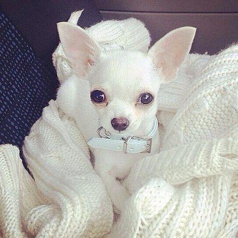 Beautiful Chihuahua ❣️