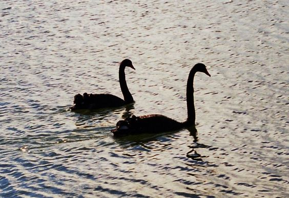 Black swans on lake in Rotorua, New Zealand in 1998.  Photography by David E. Nelson