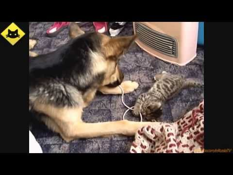 FUNNY VIDEOS  Funny Cats   Funny Dogs   Dogs Love Kittens   Funny Animals   Funny Cat Videos - http://www.gigglefinger.com/funny-videos-funny-cats-funny-dogs-dogs-love-kittens-funny-animals-funny-cat-videos-2/