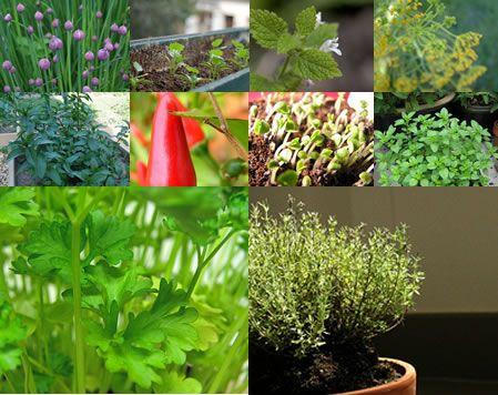 Top 10 ervas aromáticas