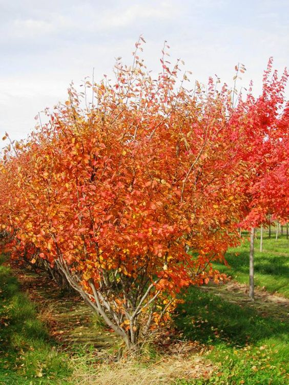 Autumn Brilliance Clump Serviceberry | Landscape Ideas ...