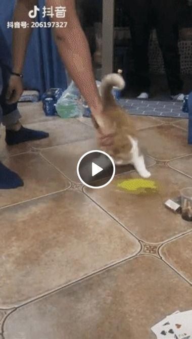 Gato tentando pegar um pano, deu a louca no felino