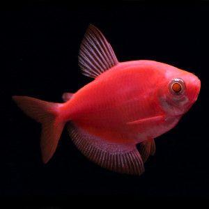 Glo fish starfire red tetra fish live fish petsmart for Petsmart live fish