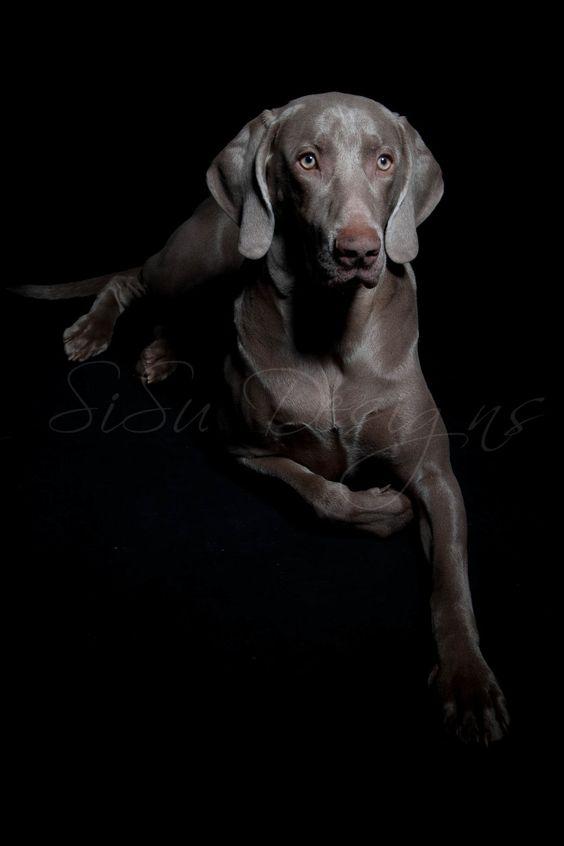 weimaraners, dog, weimaraner, Sil, www.sisudesigns.nl, grey ghost.