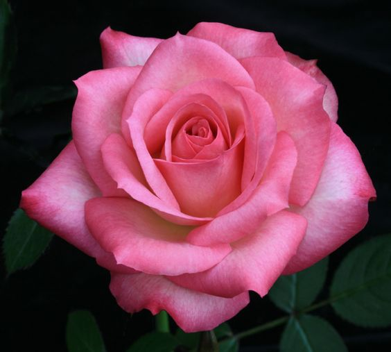 Rose 'Tiffany Lynn' - Pink blend - Mini-Flora - Mild fragrance - Bred by Nelson F. Jolly (United States, 1985).  Introduced in United States by Rosehill Farm as 'Tiffany Lynn'. > Photo by Rich Baer